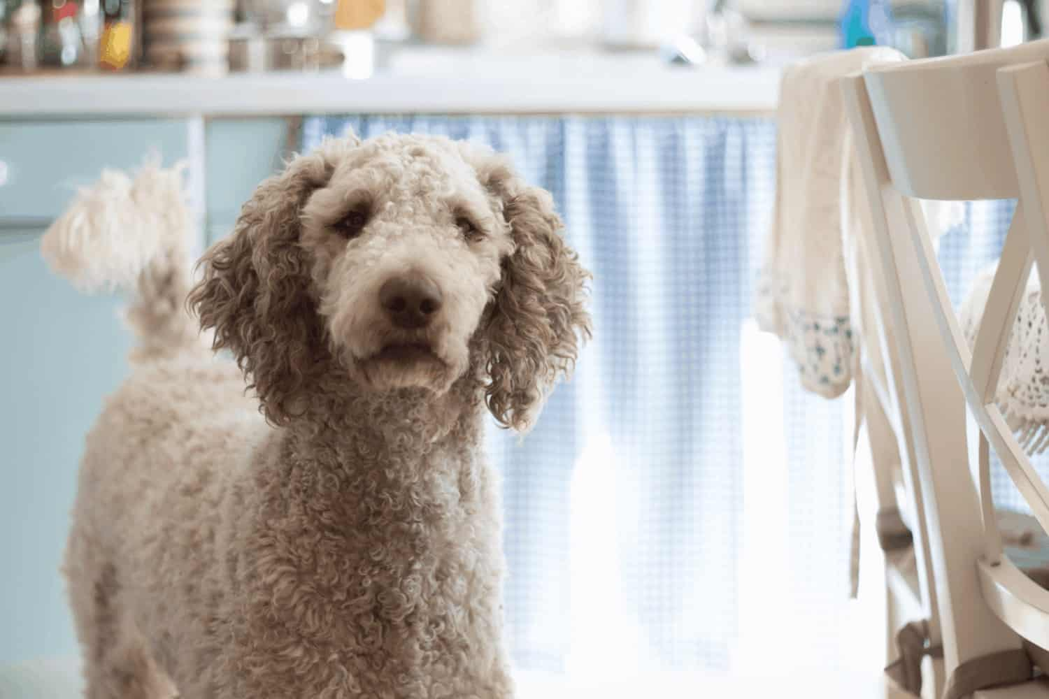 A picture of a poodle staring