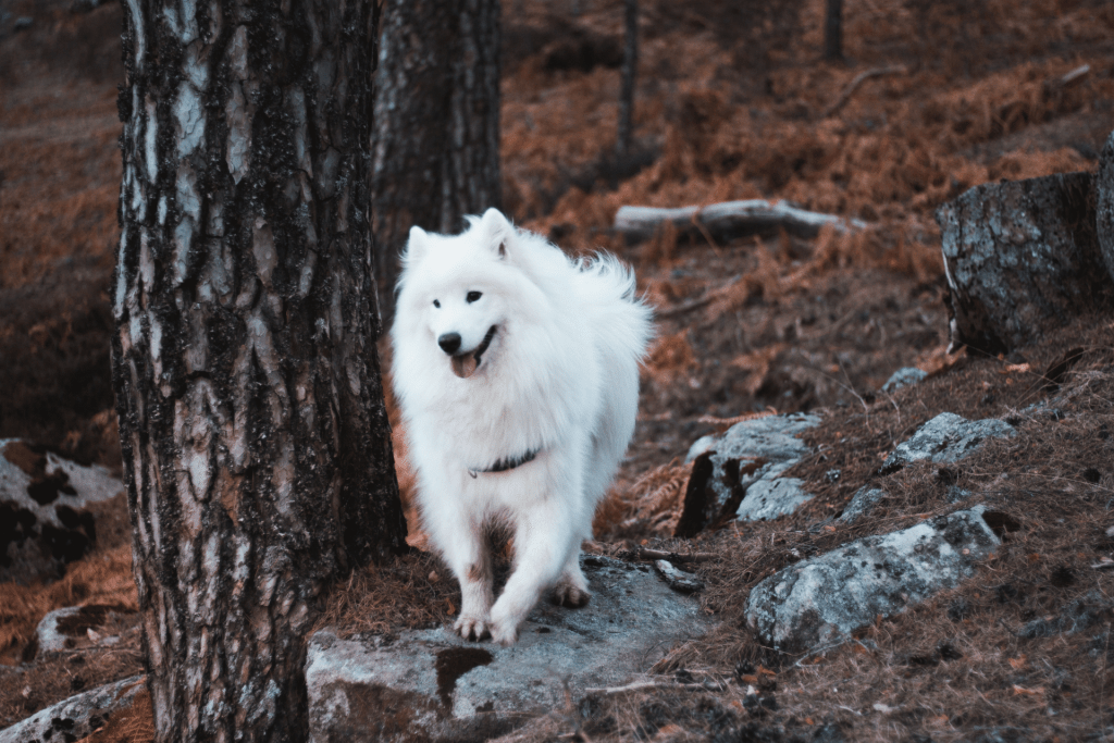 The Complete Guide to Samoyed Dog Breed