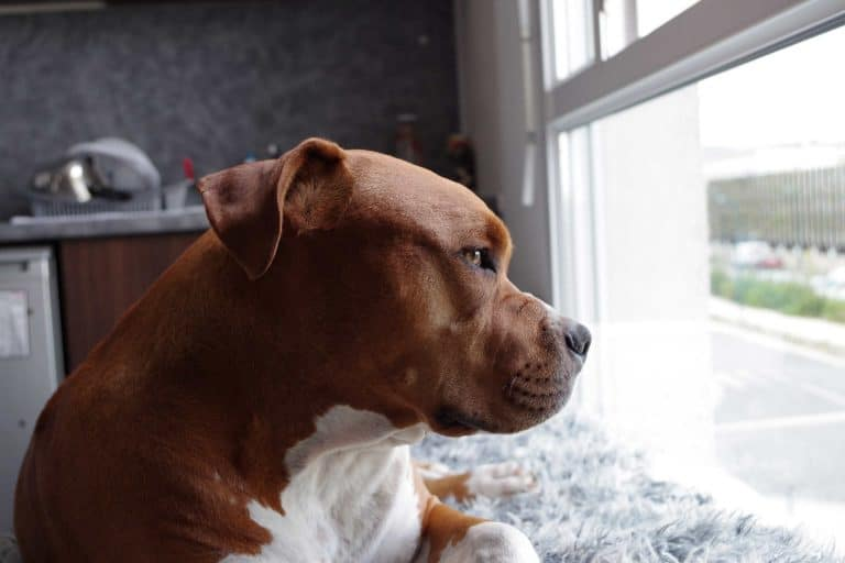 A picture of an orange pitbull staring out the window
