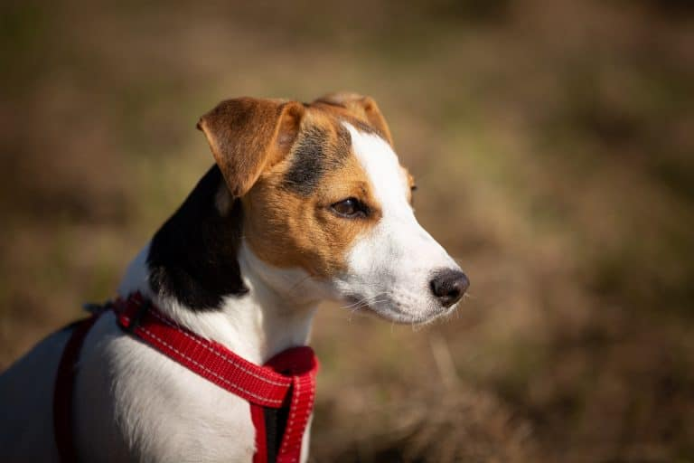 A jack russell wearing a harness