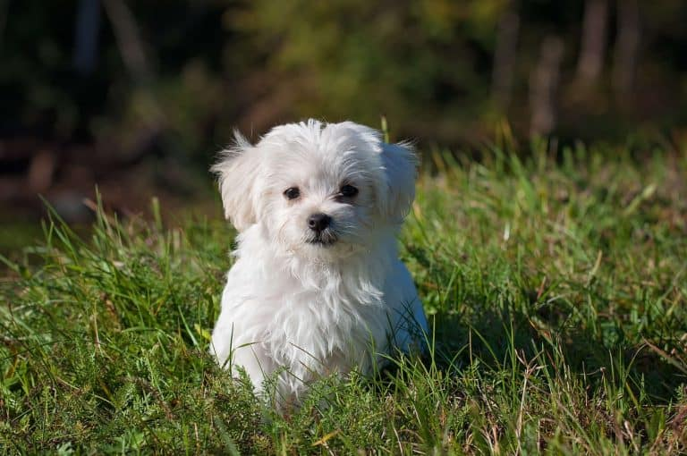 A white maltese dog sitting in grass
