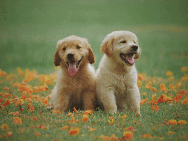 A picture of two dogs sitting together in the grass
