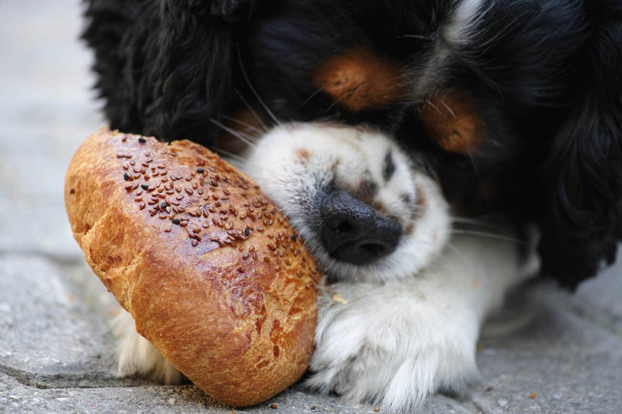 A dog eating bread