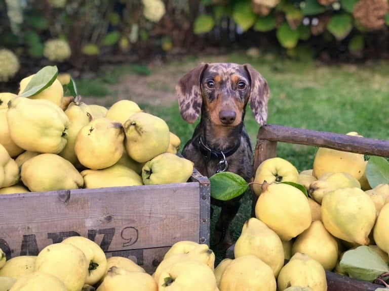 Dog sitting on a cart with several squashes around the dog