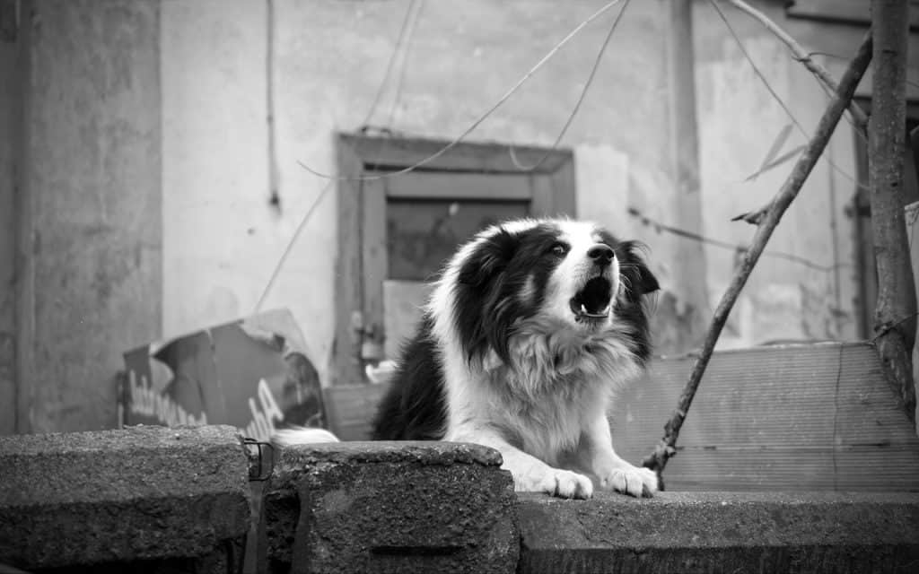 A black and white picture of a dog barking