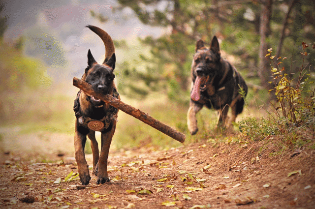 A picture of two dogs playing fetch