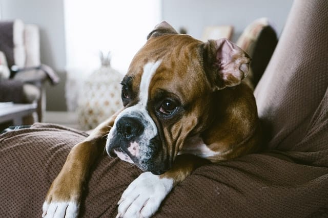 A picture of a boxer dog