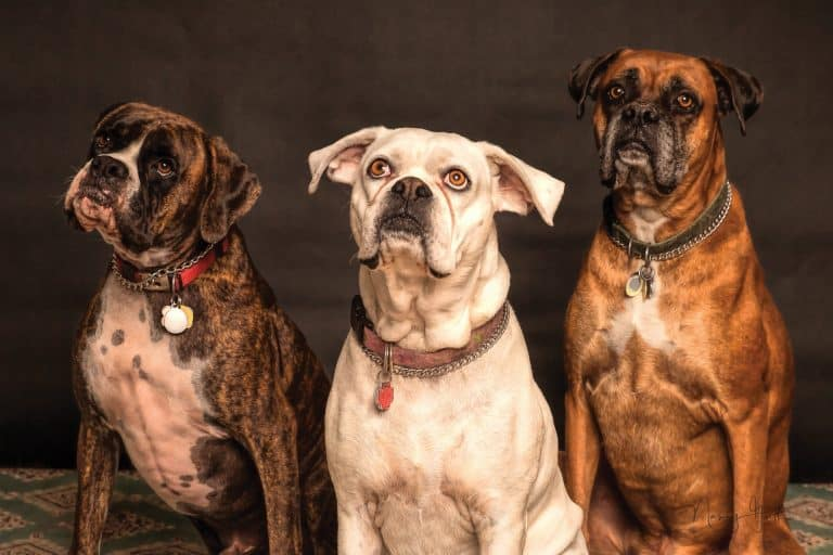 A picture of three boxer dogs