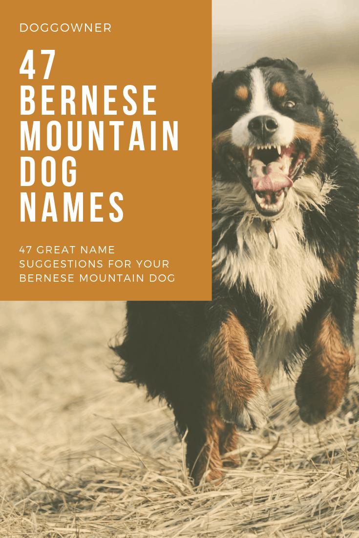 Bernese mountain dog names pinterest image