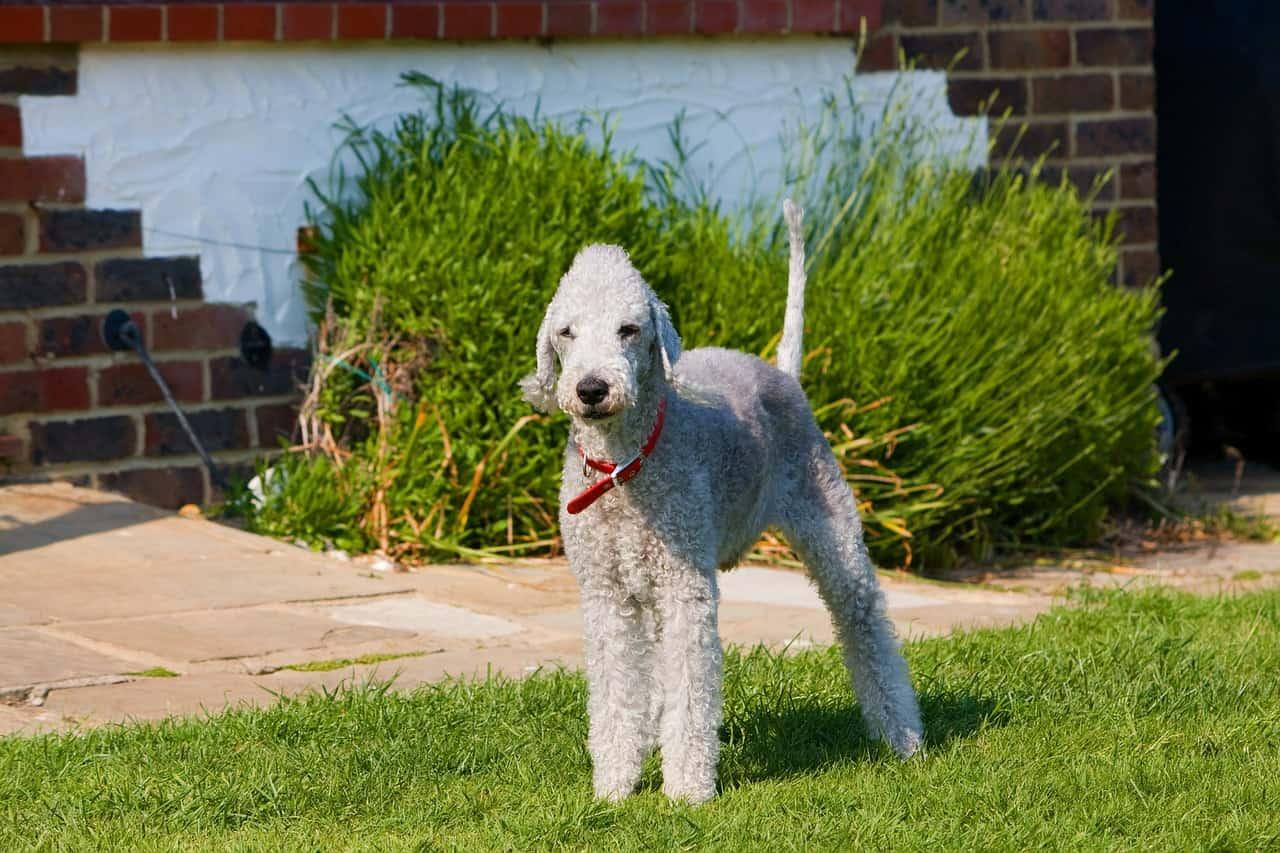 A Bedlington Terrier Standing In Grass