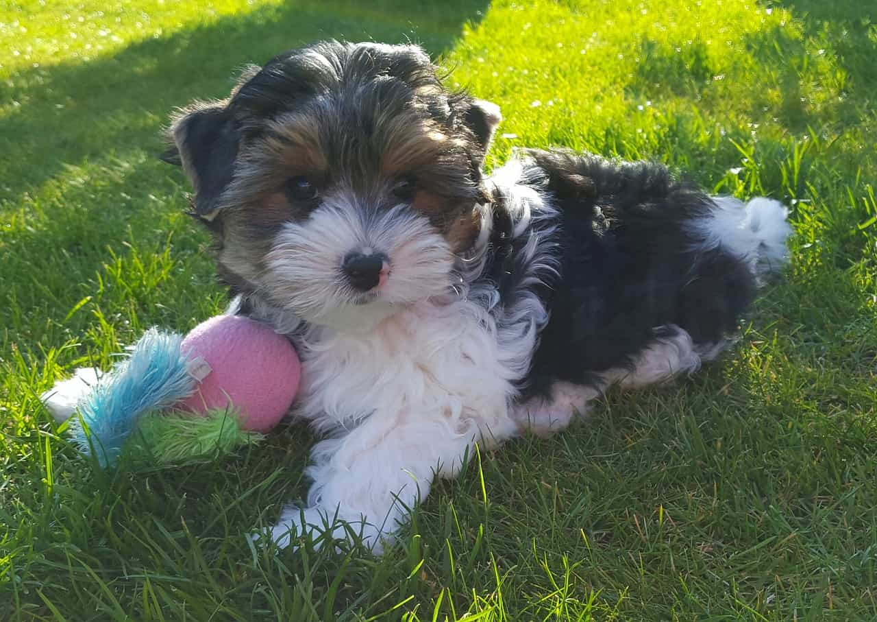 A Biewer Terrier Puppy Laying In Grass With A Toy