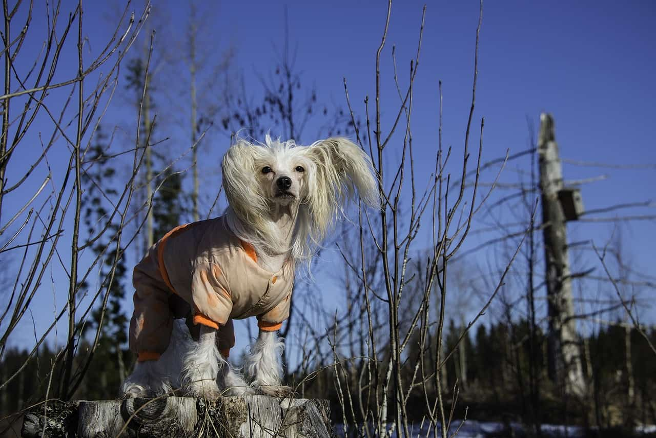 A Chinese Crested Dog Wearing A Jacket Outside