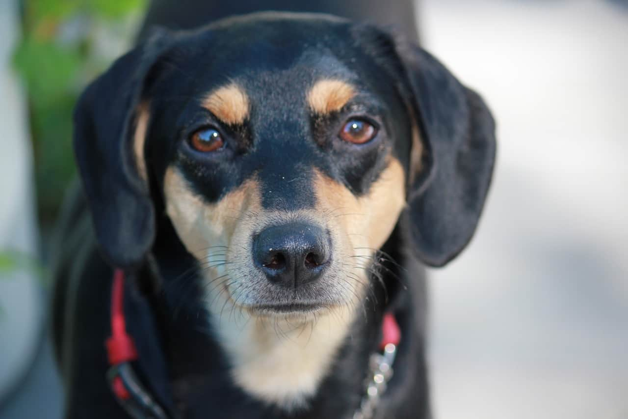 A Closeup Picture Of A Manchester Terrier