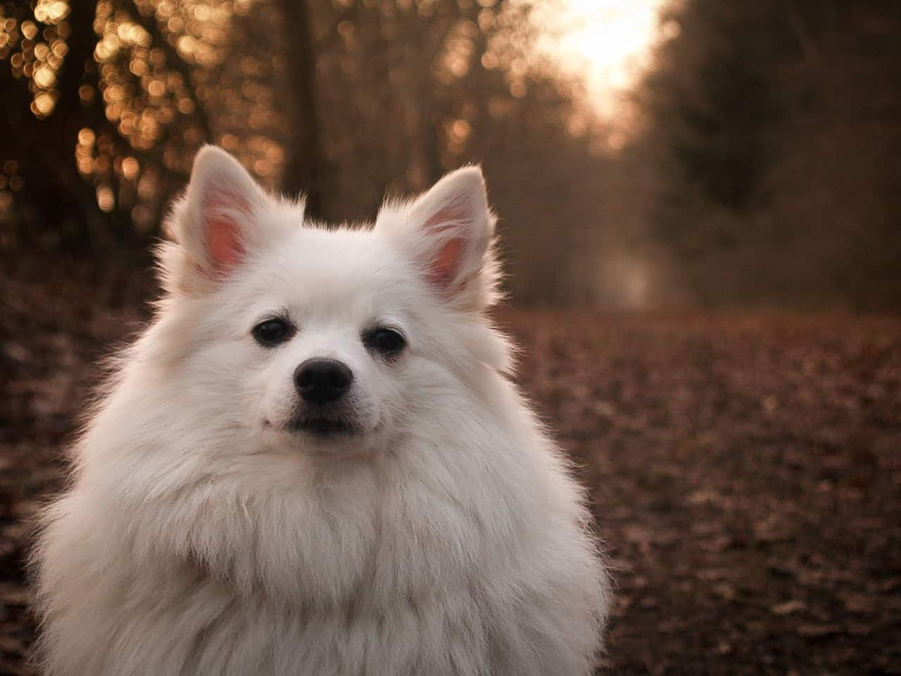 A German Spitz Sitting Outside In A Forest During The Autumn