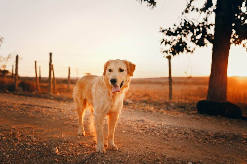 A golden retriever standing in the dirt with the sunset behind them