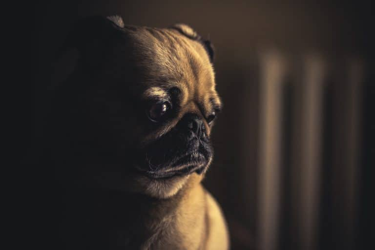 A picture of a sad pug with light on their face