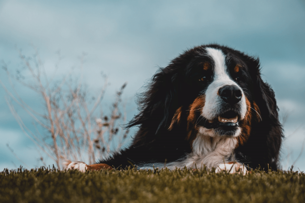 A bernese mountain dog laying in grass