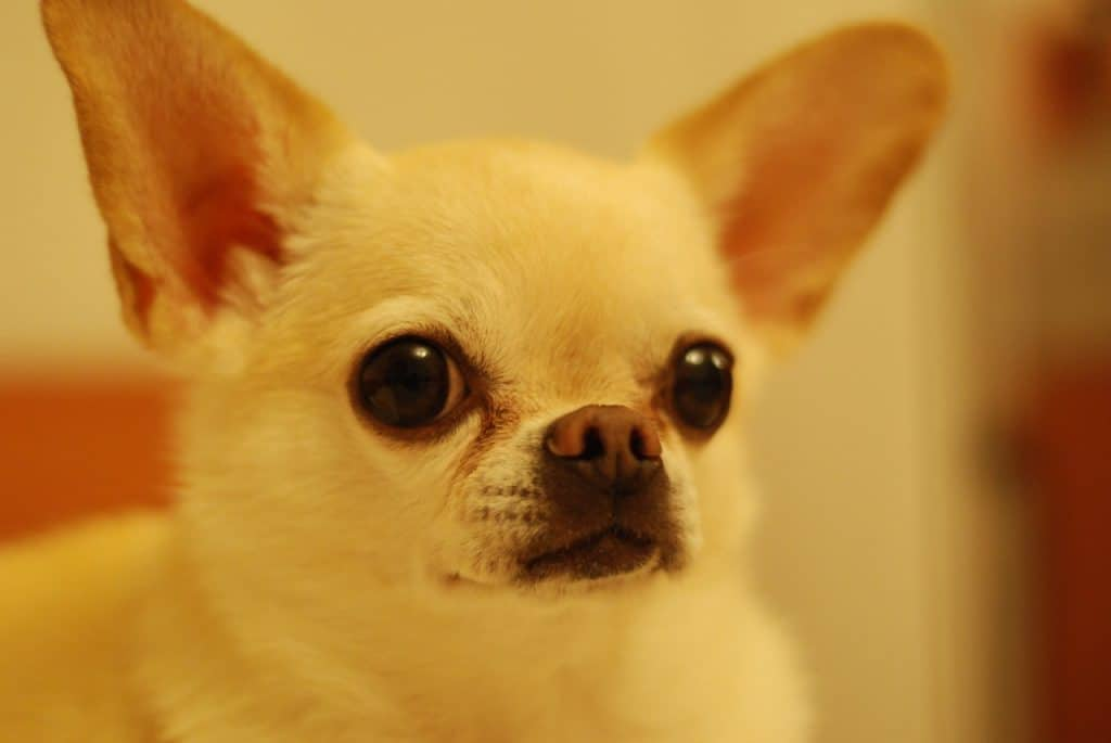 A chihuahua staring at something in the distance