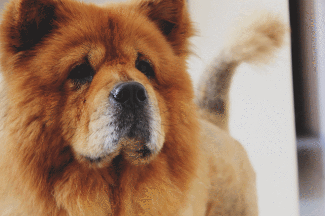 A chow chow dog staring at the camera