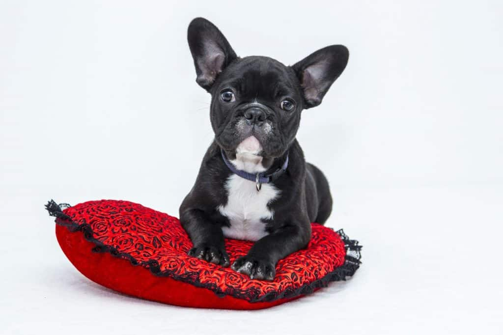 A french bulldog sitting on a pillow with a white background