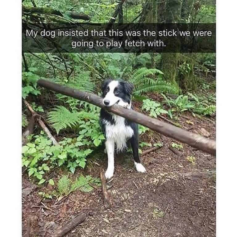Dog holding a large stick