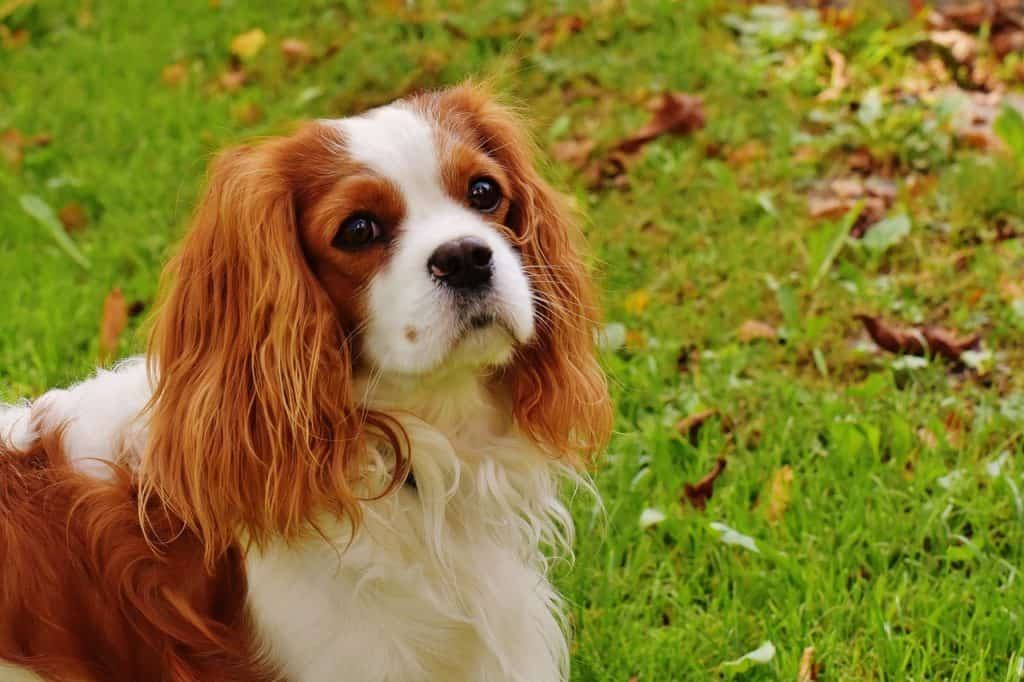 A king charles spaniel standing in the grass with leaves in the background