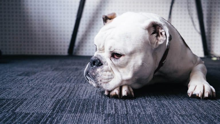 An english bulldog sitting on a patterned carpet floor