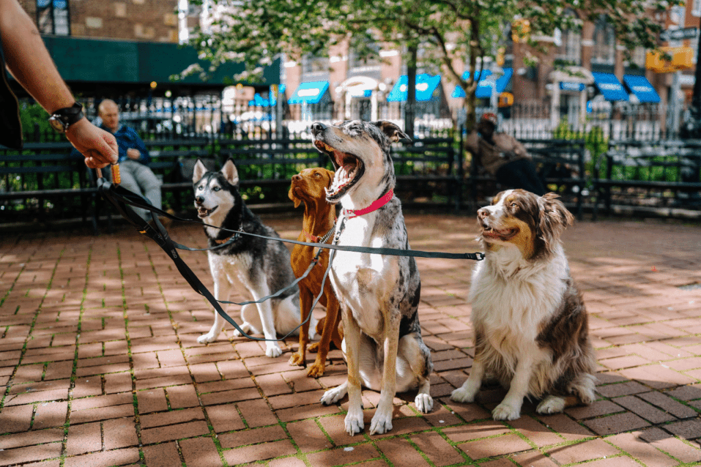 A pack of different dogs on a multiple dog leash