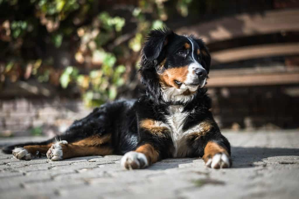 A bernese mountain dog laying on the sidewalk