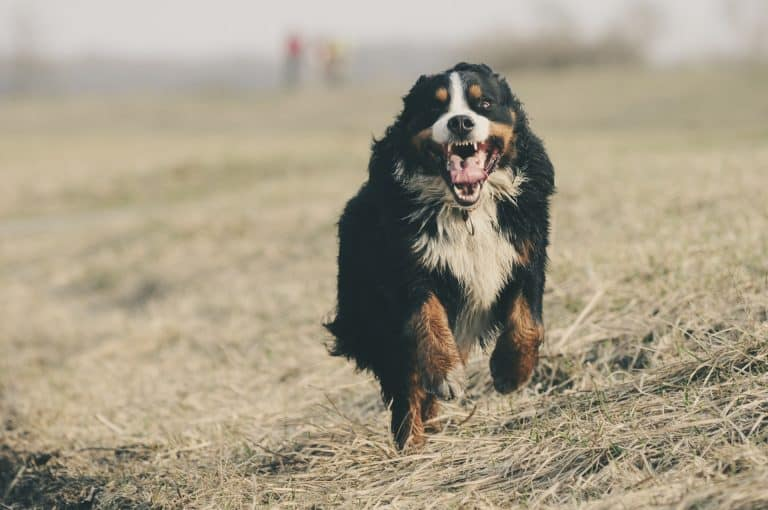 A bernese mountain dog running in the grass