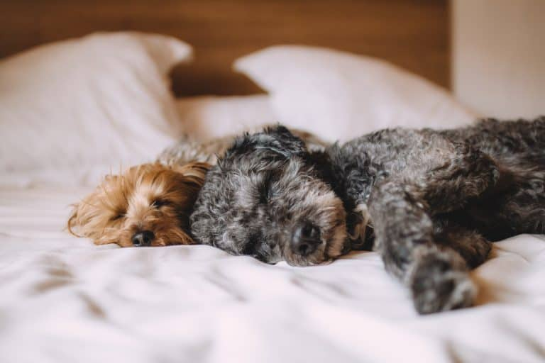 Two dogs sleeping in a hotel bed