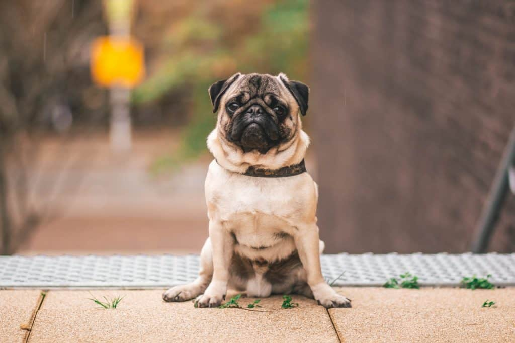 A pug sitting next to a staircase