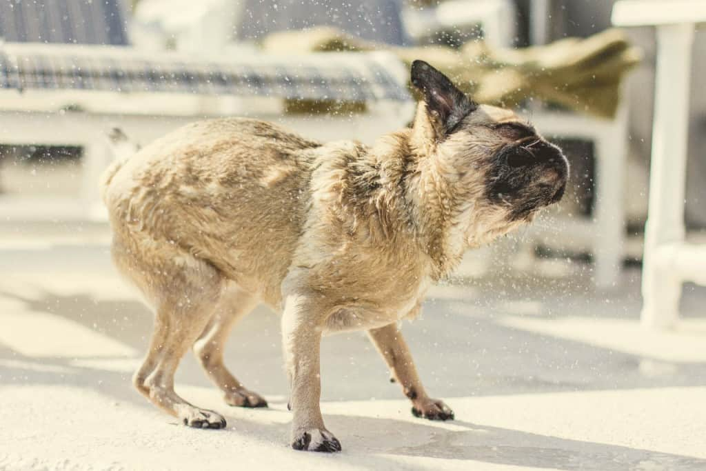 A puppy pug shaking off water