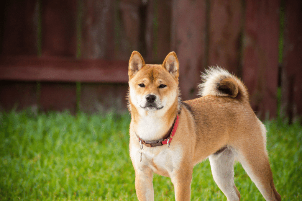 A shiba inu standing in the grass with a fence behind them