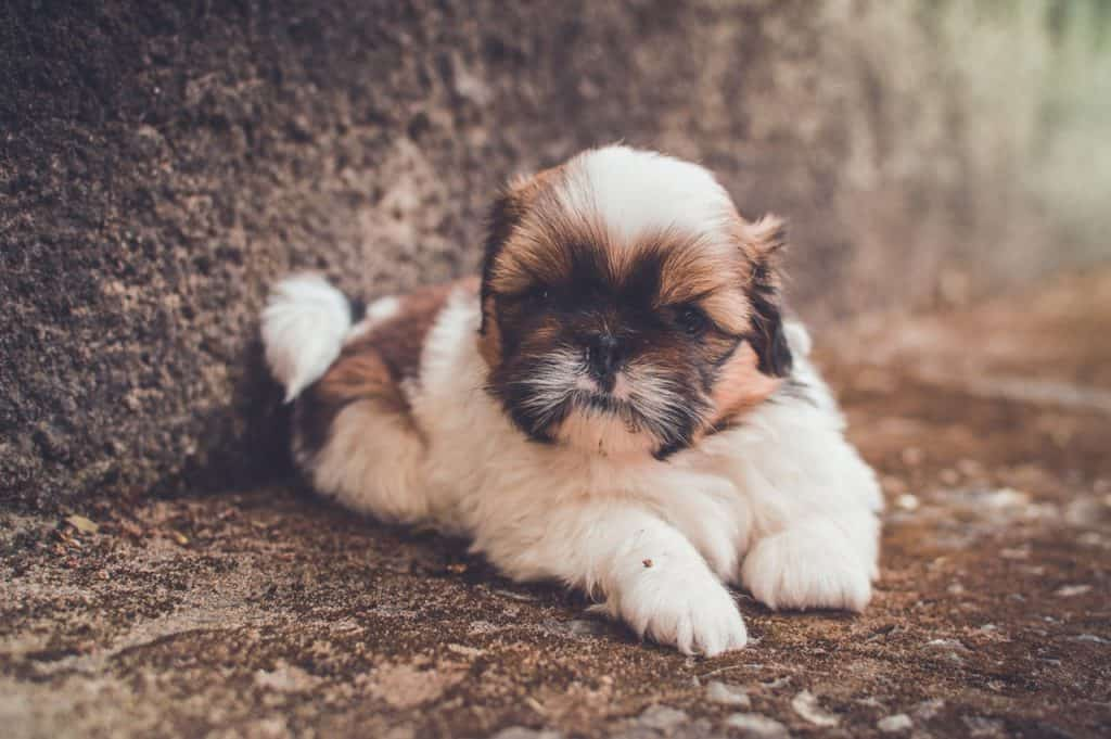 A shih tzu sitting in the dirt next to a large tree