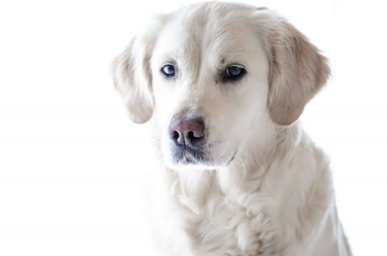A white Labrador retriever standing in front of a white background