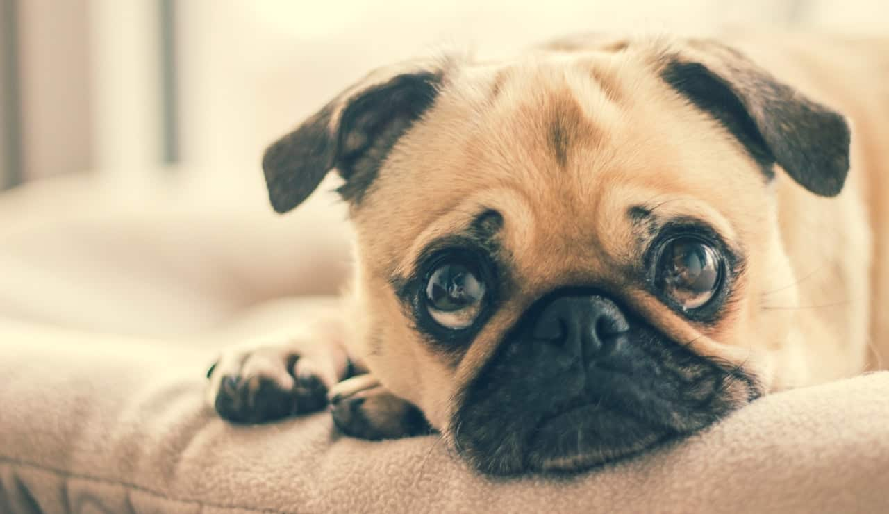 A sad pug laying on a couch