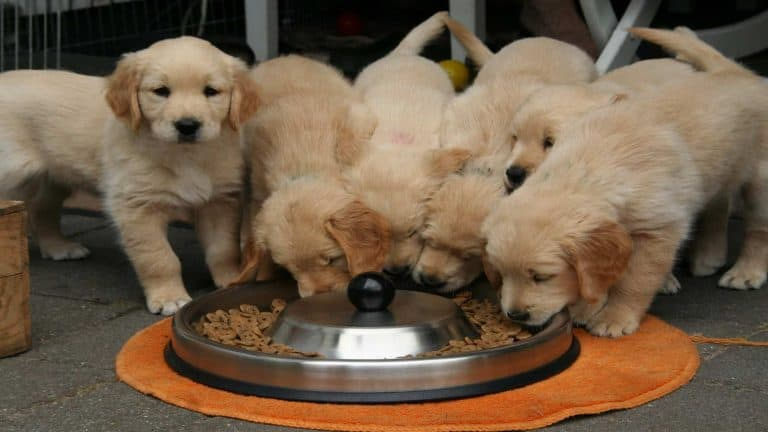 Five golden retriever puppies eating out of one large bowl