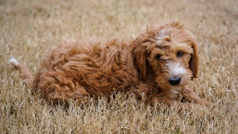 A goldendoodle dog laying in the grass