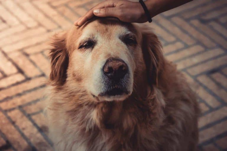 A golden retriever getting pet.