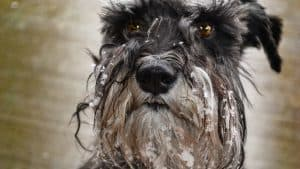A schnauzer dog with snow on their face.