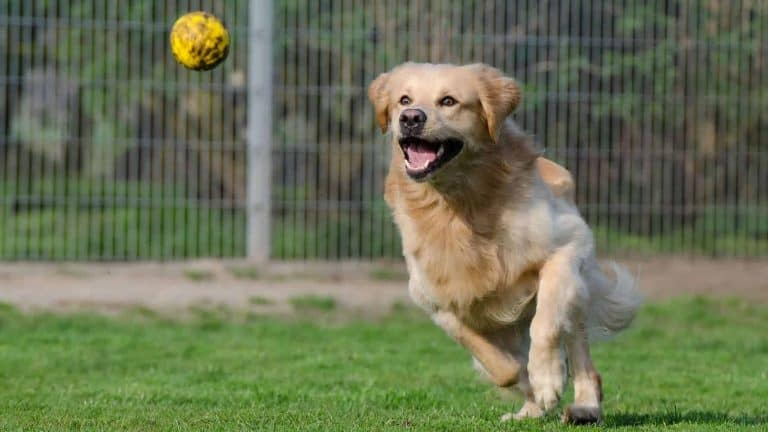 A Golden Retriever fetching a yellow ball