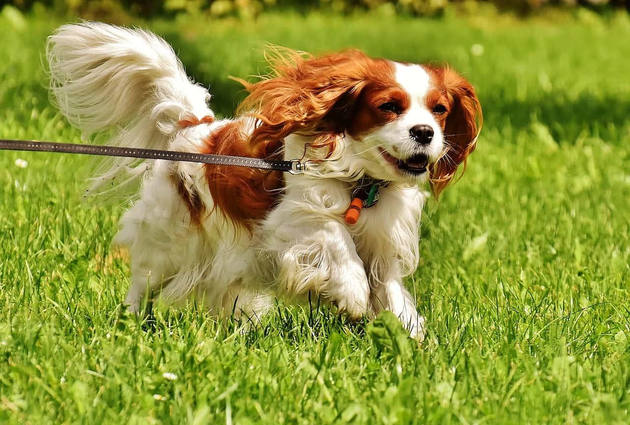 A Cavalier King Charles Spaniel Running In Grass