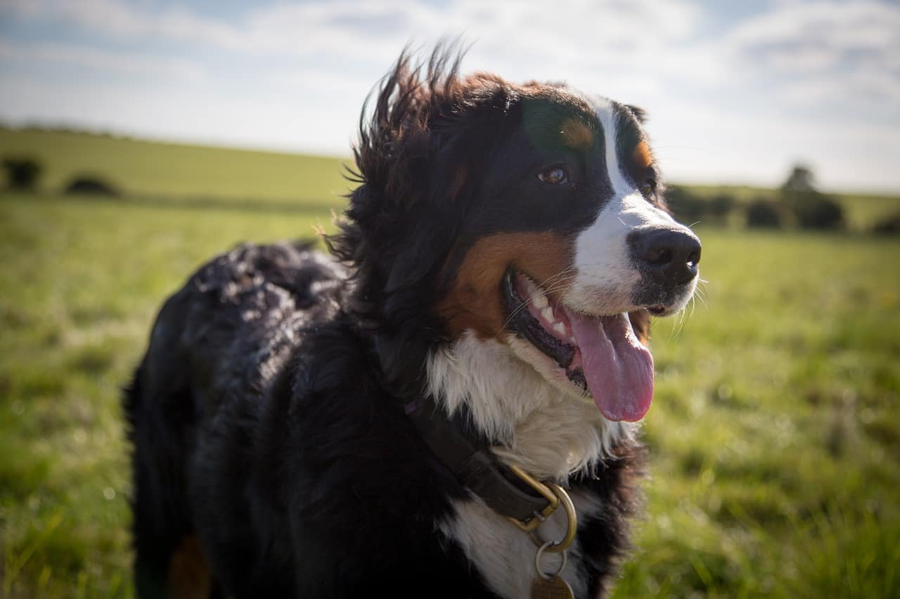 A Bernese Mountain Dog With Their Tongue Out Standing In A Grass Field