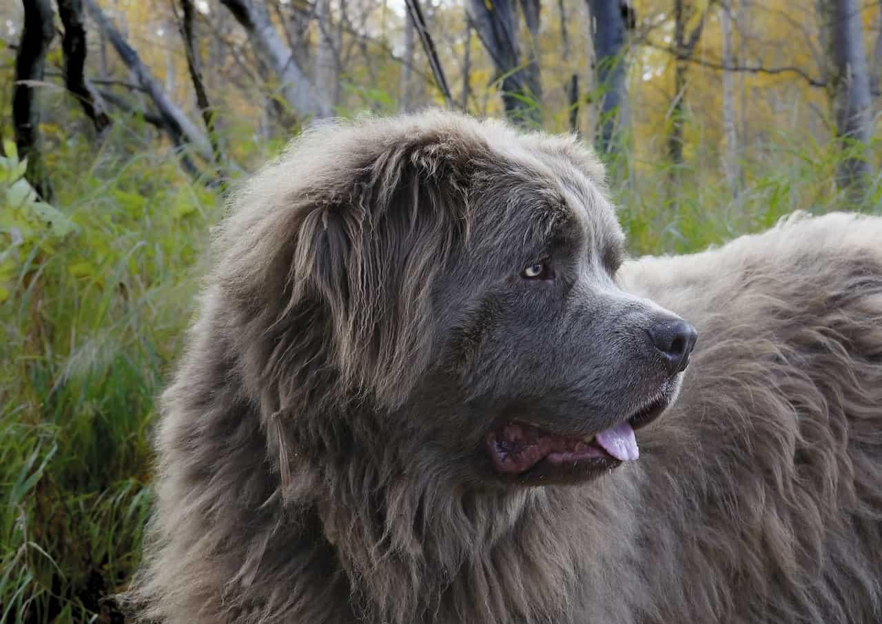 A Closeup Of A Newfoundland Dog