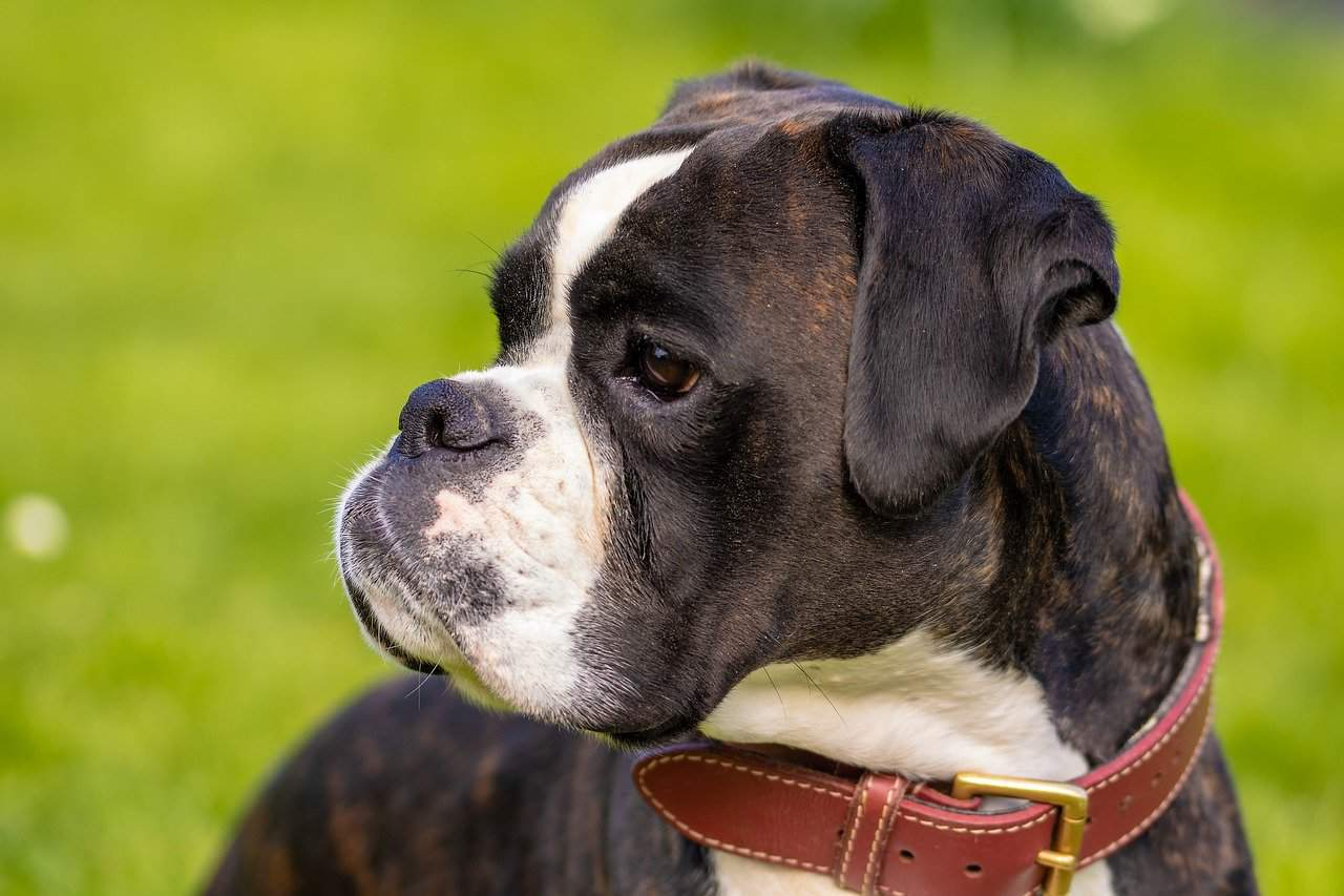 A Closeup Picture Of A Boxer Standing Outdoors