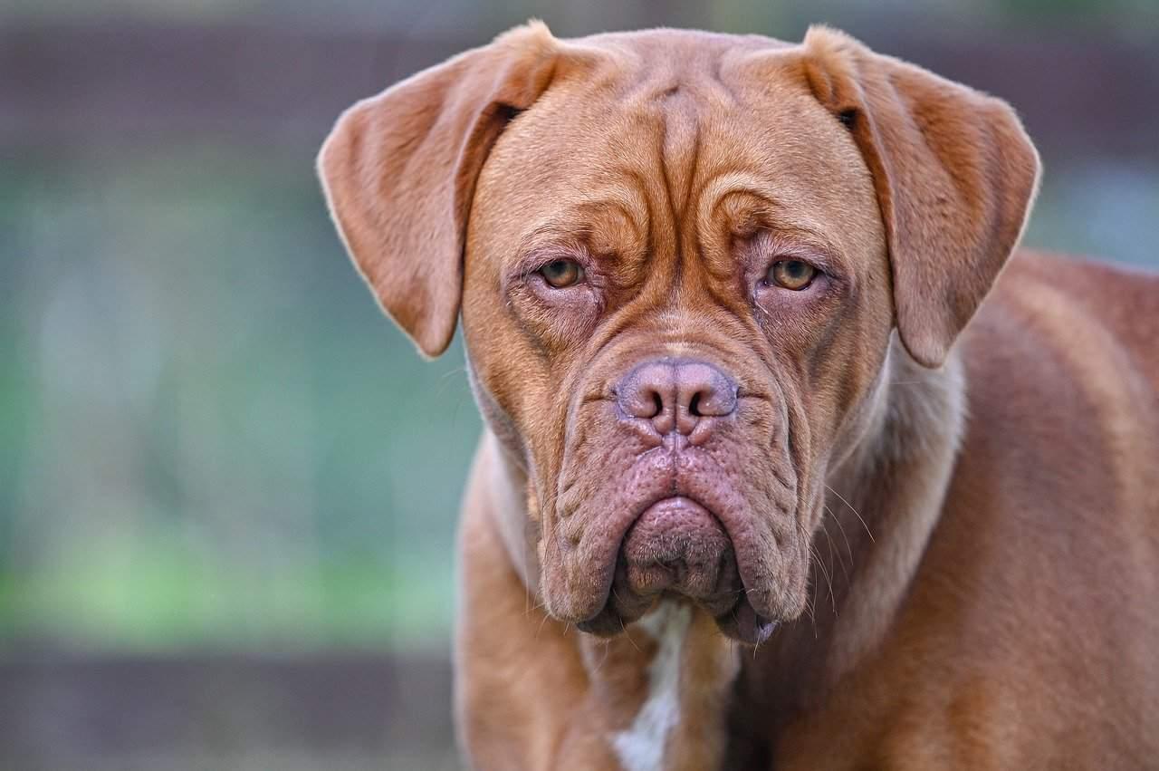 A Closeup Picture Of An Orange Mastiff