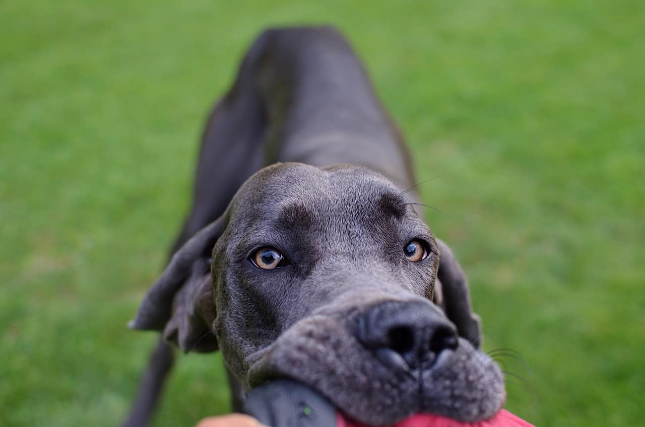 A Great Dane Outdoors Biting On A Frisbee Dog Toy