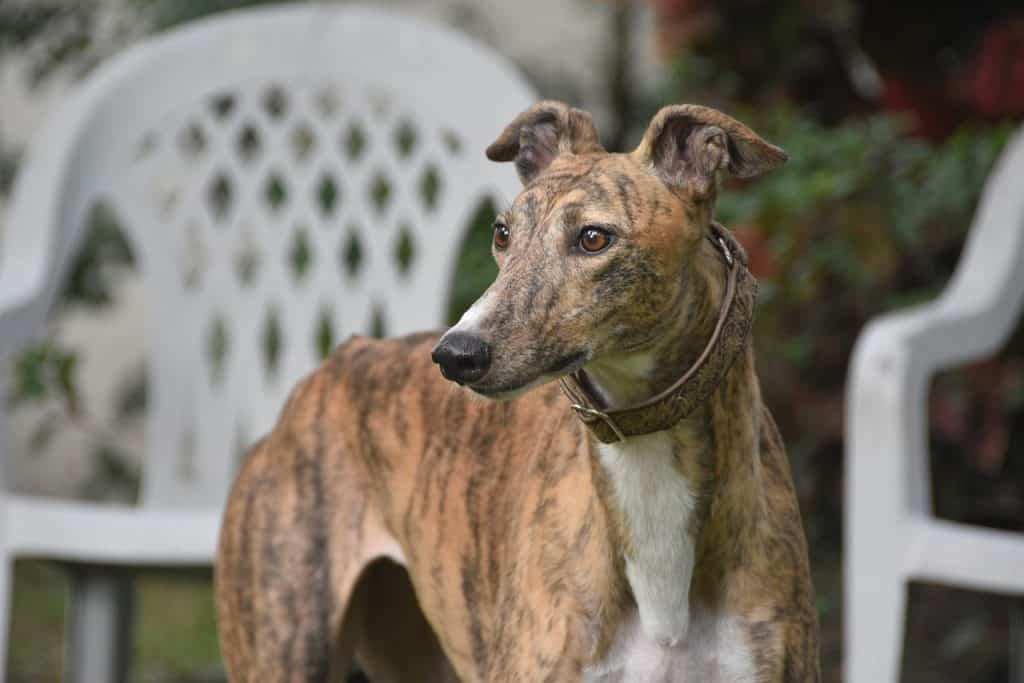 A Greyhound Dog Standing In A Backyard
