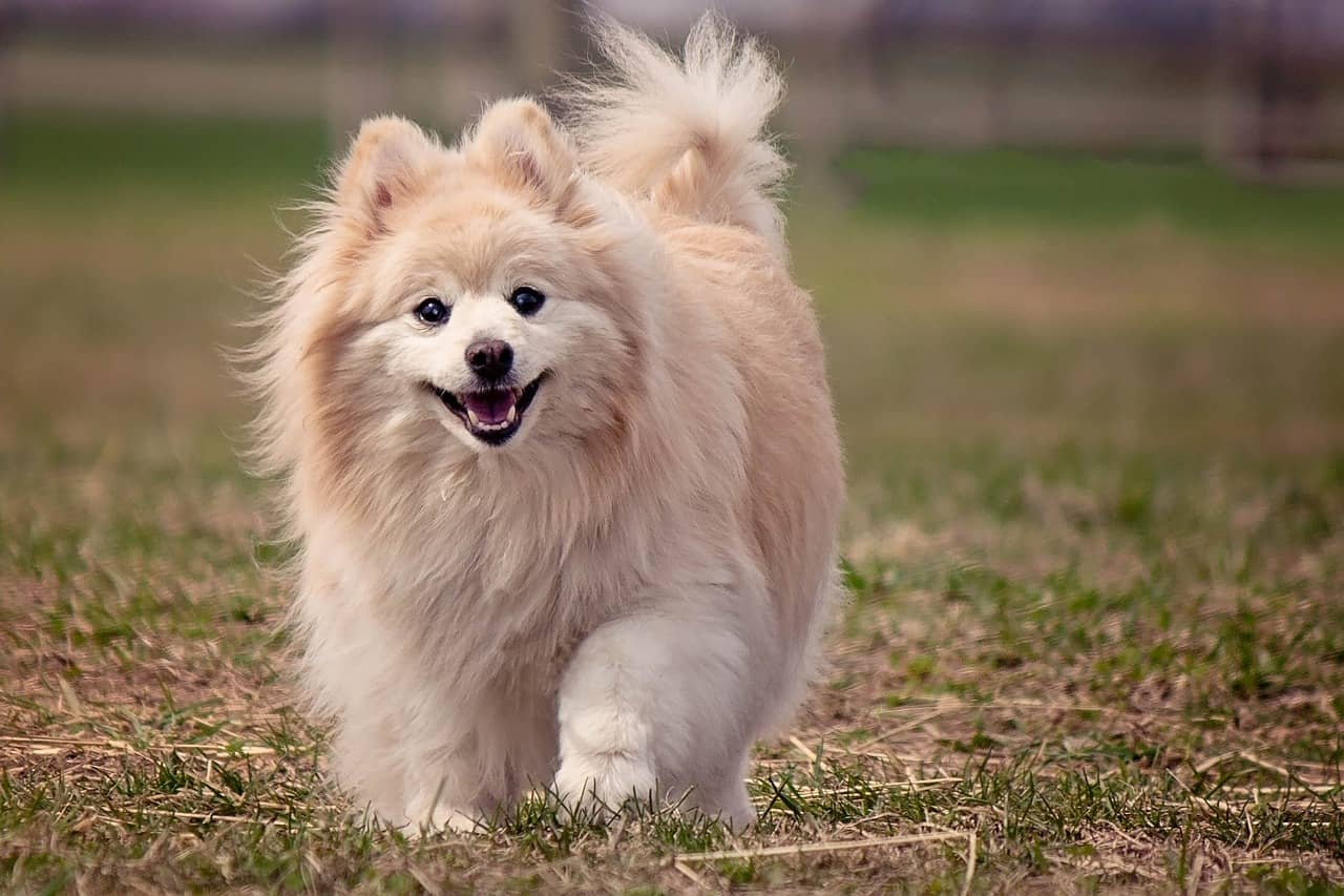 A Pomeranian Walking In A Field